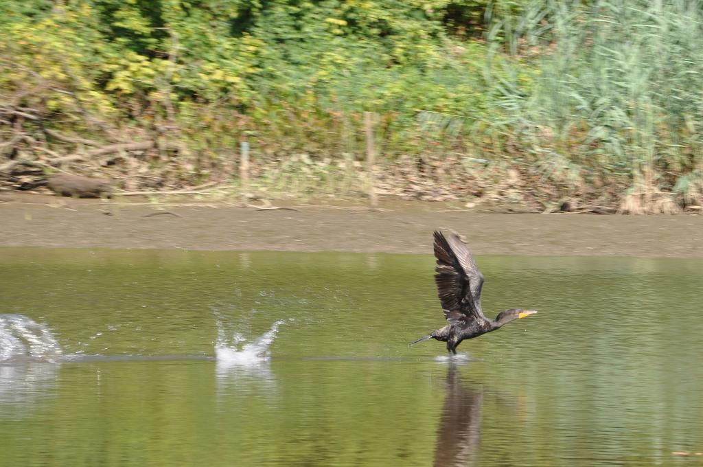 Large bird on the Anacostia River